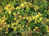 Sedum floriferum 'Weihenstephaner Gold'   Hemelsleutel, Vetkruid