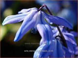 Scilla sibirica 'Spring Beauty' | Oosterse sterhyacinth