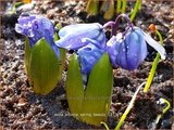 Scilla sibirica 'Spring Beauty' | Oosterse sterhyacint, Sterhyacint
