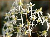 Saxifraga cortusifolia fortunei | Steenbreek