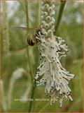 Sanguisorba tenuifolia 'Alba'   Pimpernel, Sorbenkruid