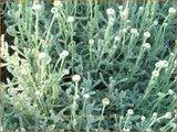 Santolina chamaecyparissus   Heiligenbloem, Cipressenkruid