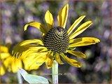 Rudbeckia maxima | Zonnehoed
