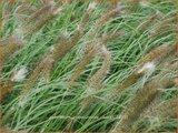 Pennisetum alopecuroides 'Cassian' | Lampenpoetsersgras