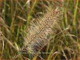 Pennisetum alopecuroides 'Herbstzauber' | Lampenpoetsersgras