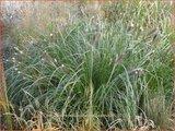 Pennisetum alopecuroides 'Japonicum' | Lampenpoetsersgras