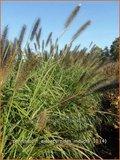 Pennisetum alopecuroides 'Moudry' | Lampenpoetsersgras