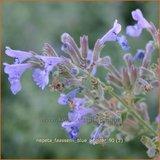 Nepeta faassenii 'Blue Wonder' | Kattekruid, Kattenkruid