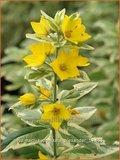 Lysimachia punctata 'Alexander' | Puntwederik, Wederik