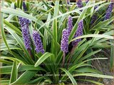 Liriope muscari 'Gold Banded' | Leliegras