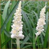 Liriope muscari 'Monroe White' | Leliegras