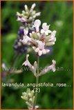 Lavandula angustifolia 'Rosea' | Lavendel