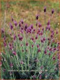Lavandula stoechas pedunculata | Kuiflavendel, lavendel