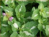 Lamium maculatum 'Roseum'   Dovenetel