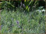 Lavandula angustifolia 'Dwarf Blue' | Lavendel