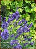 Lavandula angustifolia 'Hidcote' | Lavendel