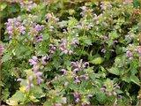 Lamium maculatum 'Anne Greenaway' | Gevlekte dovenetel, Dovenetel | Gefleckte Taubnessel