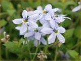 Isotoma fluviatilis | Laurentia