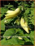 Kirengeshoma koreana | Japanse wasbloem, Koreaanse wasbloem