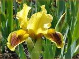 Iris 'Ritz' | Zwaardlelie, Iris, Lis