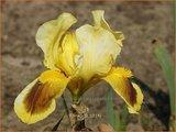 Iris 'Ritz' | Iris, Lis