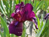Iris 'Cherry Garden'   Zwaardlelie, Iris, Lis