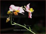 Helianthemum 'Lawrenson's Pink'   Zonneroosje