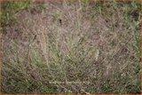 Eragrostis spectabilis | Liefdesgras