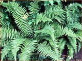 Dryopteris affinis 'Pinderi' | Geschubde mannetjesvaren