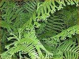 Dryopteris affinis 'Polydactyla Dadds' | Geschubde mannetjesvaren