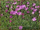 Dianthus gratianopolitanus 'Eydangeri' | Anjer