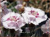 Dianthus 'Ine'   Anjer