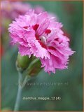 Dianthus 'Maggie' | Anjer