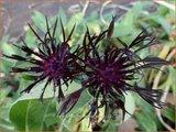 Centaurea montana 'Jordy'   Centaurie, Korenbloem