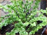 Athyrium filix-femina 'Frizelliae' | Wijfjesvaren