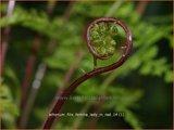 Athyrium filix-femina 'Lady in Red' | Wijfjesvaren