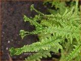 Athyrium filix-femina 'Victoriae' | Wijfjesvaren