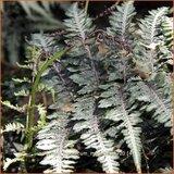 Athyrium niponicum 'Metallicum' | Japanse regenboogvaren