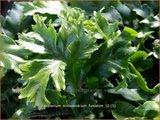 Asplenium scolopendrium 'Furcatum' | Tongvaren