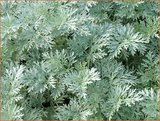 Artemisia 'Powis Castle'   Alsem, Bijvoet, Edelruit