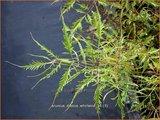 Aruncus dioicus 'Whirlwind' | Geitenbaard