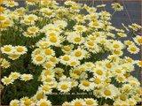 Anthemis hybrida 'E.C. Buxton'   Gele kamille, Verfkamille, Kamille