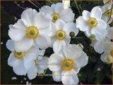 Anemone hybrida 'Honorine Jobert' | Anemoon, Herfstanemoon, Japanse anemoon