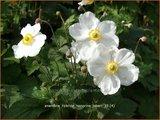 Anemone hybrida 'Honorine Jobert' | Herfstanemoon, Japanse anemoon, Anemoon | Herbstanemone