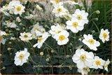 Anemone hybrida 'Andrea Atkinson'   Anemoon, Herfstanemoon, Japanse anemoon