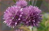 Allium schoenoprasum | Bieslook