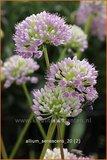 Allium senescens   Sierui, Look