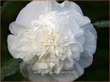 Alcea rosea 'Pleniflora' (wit) | Stokroos