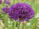 Allium aflatunense 'Purple Sensation'   Sierui, Look