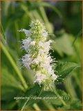 Agastache rugosa 'Alabaster' | Dropplant, Anijsnetel